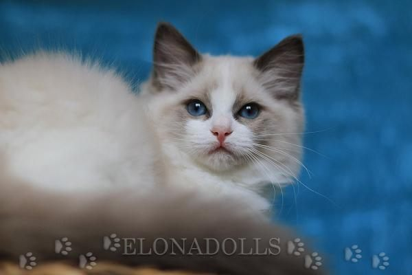 ELONADOLLS EUPHORIA