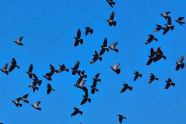 Samedi midi entre Burgaronne et le Quartier Sunarthe, tu avais raison Marcel, des palombes, y en avait plein !